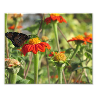 Butterfly Feeding on Orange Flowers Photograph