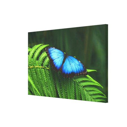 butterfly gallery wrapped canvas