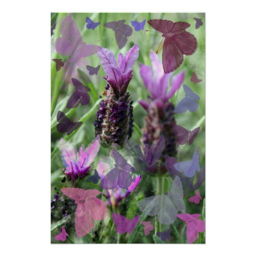 Butterfly Lavender  Poster Print