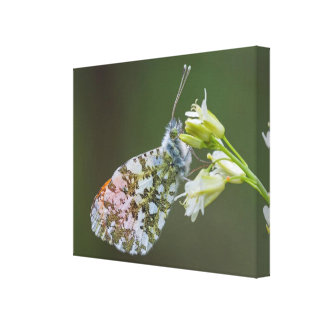 Butterfly Macro Canvas Print - Goa