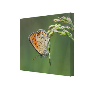 Butterfly Macro Canvas Print - Sen