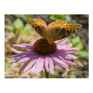 Butterfly on a Purple Coneflower Postcard