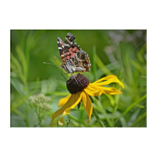 Butterfly on Black-Eyed Susan Acrylic Print
