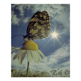 Butterfly on camomile flower with sun, poster