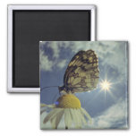 Butterfly on camomile flower with sun, square magnet