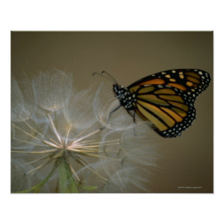 Butterfly on dandelion poster