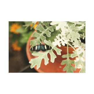 Butterfly on Dusty Miller Stretched Canvas Print