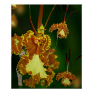 Butterfly Orchid Print