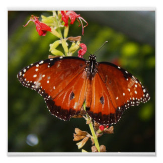Butterfly Poster - Print