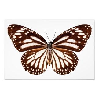 "Butterfly species Danaus melanippus ""White Tiger "" Photographic Print"