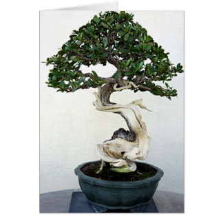 Buttonwood Bonsai Tree Greeting Card