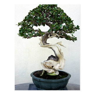 Buttonwood Bonsai Tree Postcard