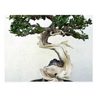 Buttonwood Bonsai Tree Postcard