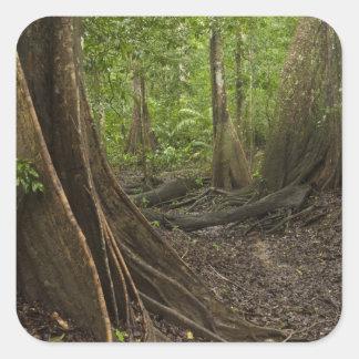 Buttress Roots. Rainforest, Mapari Rupununi, 2 Square Sticker