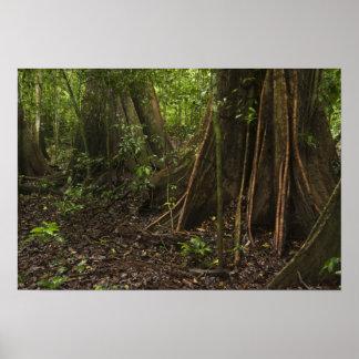 Buttress Roots. Rainforest, Mapari Rupununi, Poster