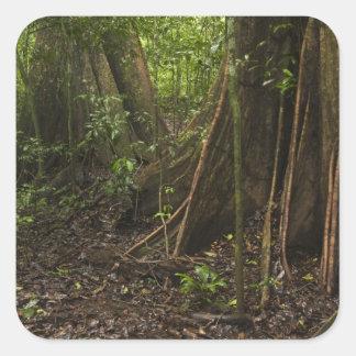 Buttress Roots. Rainforest, Mapari Rupununi, Square Sticker