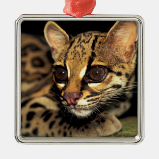 CA, Central Panama, Soberania NP, Margay 2 Christmas Ornament