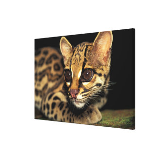 CA, Central Panama, Soberania NP, Margay 2 Stretched Canvas Prints