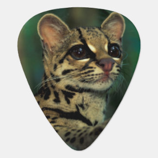 CA, Central Panama, Soberania NP, Margay Guitar Pick