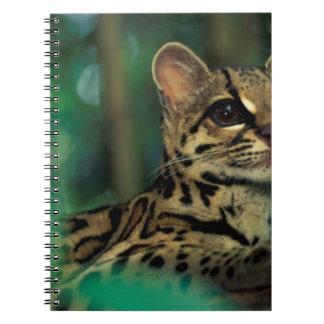 CA, Central Panama, Soberania NP, Margay Notebooks