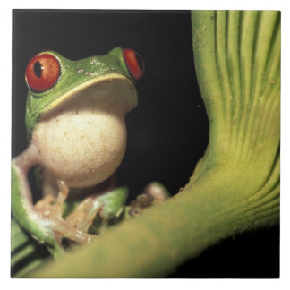 CA, Costa Rica, Red-eyed tree frog (Agalychnis Tile