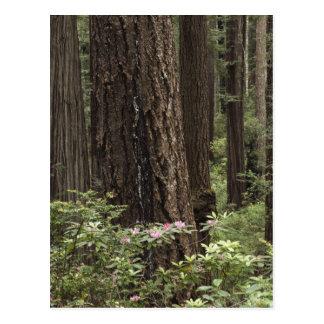 CA, Prairie Creek State Park, Coast Postcard