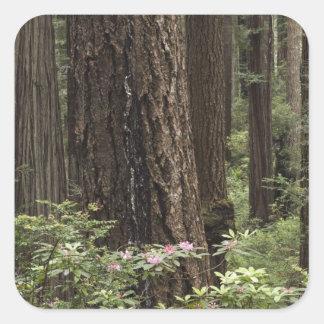 CA, Prairie Creek State Park, Coast Square Sticker