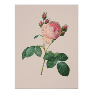 Cabbage Rose Botanical Poster