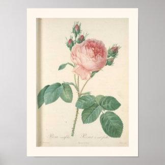 Cabbage Rose Botanical Print