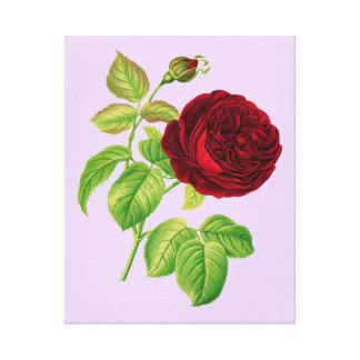 Cabbage Rose Canvas Print
