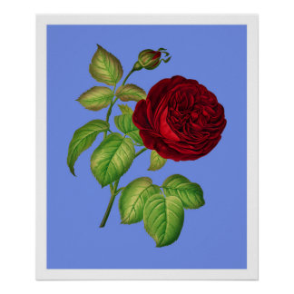 Cabbage Rose Poster