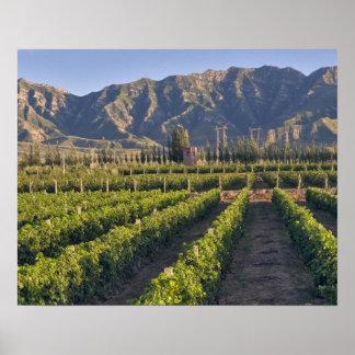 Cabernet Sauvignon vines in Huailai Rongchen Poster