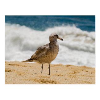 Cabo Seagull 1 Postcard