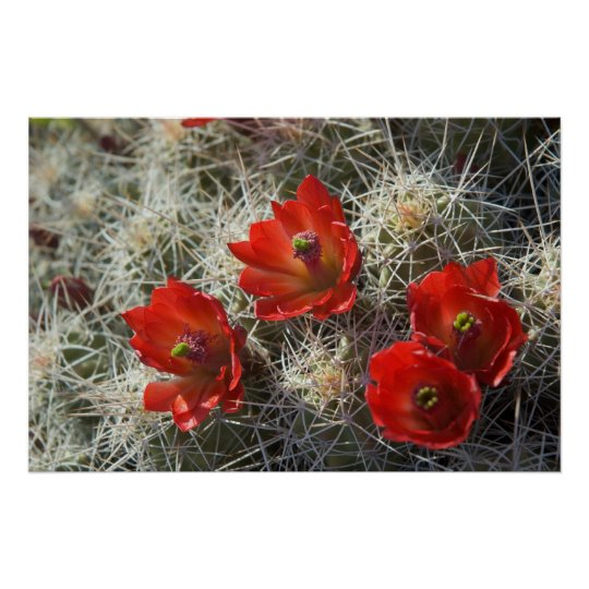 Cactus flowers poster