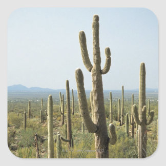 Cactus in Saguaro National Park , Arizona 2 Square Sticker