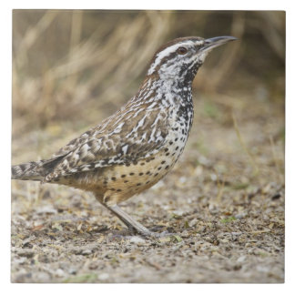 Cactus wren adult foraging large square tile