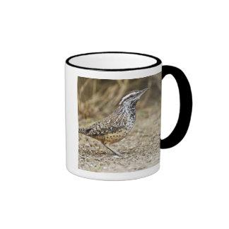 Cactus wren adult foraging mugs