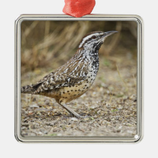 Cactus wren adult foraging Silver-Colored square decoration