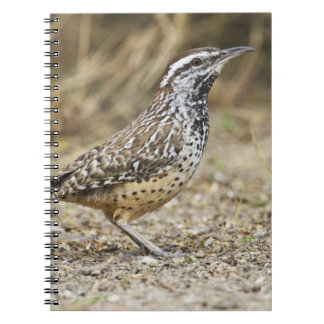Cactus wren adult foraging spiral note book