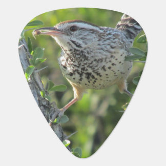 Cactus Wren on Ocotillo Plectrum