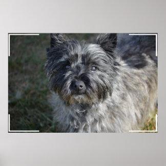 Cairn Terrier Face Poster