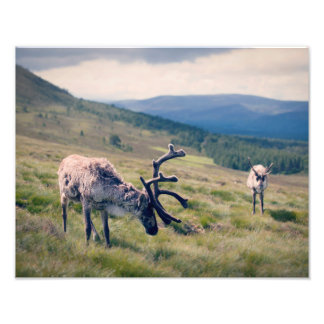 Cairngorms Reindeer Photo Print