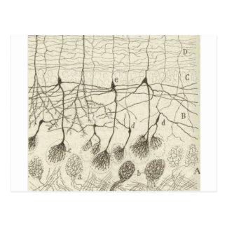 Cajal's Neurons 8 Postcard