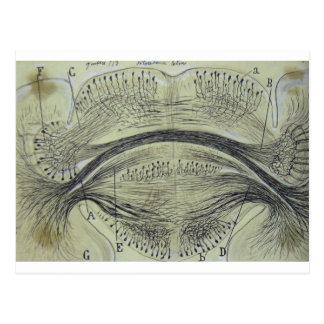 Cajal's spinal neurons - 5 postcard