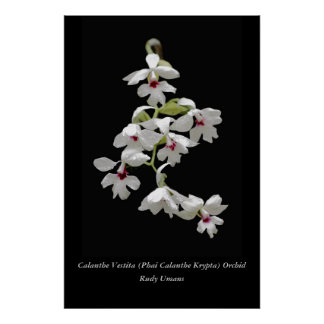 Calanthe Vestita Orchid Posters