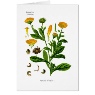 Calendula Greeting Card