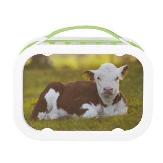 Calf Resting Lunch Box