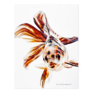Calico Fantail Comet goldfish (Carassius Postcard