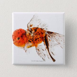 Calico lionhead goldfish (Carassius auratus) 15 Cm Square Badge