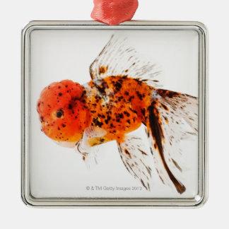Calico lionhead goldfish (Carassius auratus) Christmas Ornament